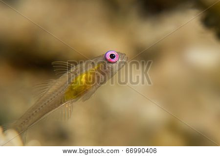 Pink Eye Goby In The Red Sea