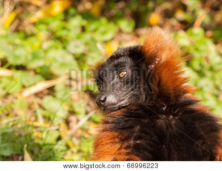 Red Ruffed Lemur Portrait