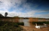 A Swan Beside Slapton Ley Torcross Devon