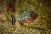 picture of piranha  - The piranha in Lisbon Zoo  - JPG