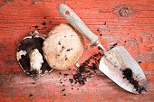 stock photo of portobello mushroom  - Organic freshly harvested portobello mushrooms and a small garden trowel on a rustic wooden table with peeling red paint and scattered soil overhead view - JPG