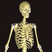 stock photo of sternum  - The human skeleton is the internal framework of the body - JPG