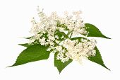 stock photo of elderberry  - Elderberry flower on a white background isolated - JPG