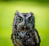 image of screech-owl  - An excited - JPG