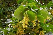 stock photo of linden-tree  - Flowers of linden - JPG