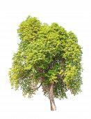 image of kan  - Tembusu  - JPG