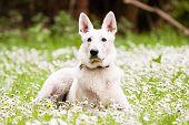 stock photo of swiss shepherd dog  - White Swiss Shepherd on daisy background and - JPG