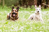 image of swiss shepherd dog  - German shepherd dog with White Swiss Shepherd on daisy - JPG