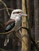 picture of blue winged kookaburra  - A close - JPG