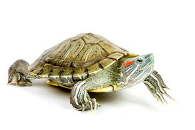 foto of terrapin turtle  - Funny green turtle on parade or walking around isolated on a white background - JPG