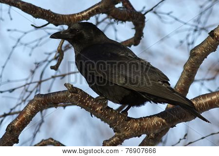 Carrion Crow Which Siit On A Branch Stone Birch Autumn