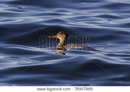 Female Red-breasted Merganser Floating In The Waters Of The Bay Avachinskaya