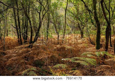 Oak trees and ferns at fall season in a temperate climate forest