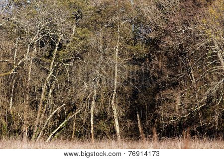 Alder trees in a temperate forest in winter