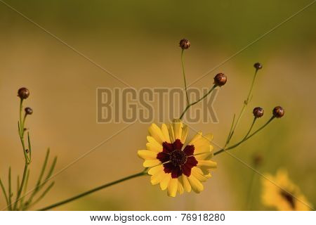 Coreopsis Tinctoria Wildflower Background