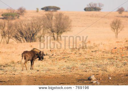 Wildebeest #1