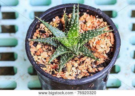 Cactus In Pots / Pot Cactus / Cactus / Thorn Cactus