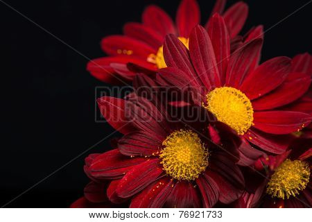 Macro Composition Of Red Velvet Chrysanthemum Flowers On Black Background, Closeup