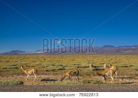 Guanaco Lamas