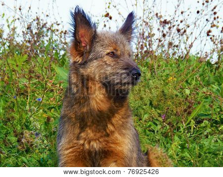 Crossbreed dog brown