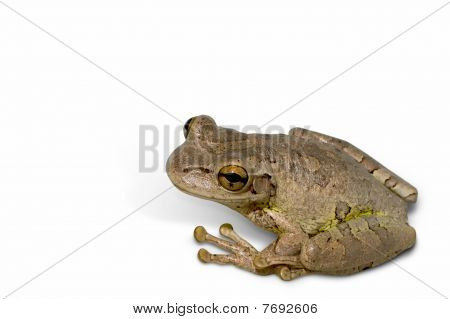 Cuban Tree Frog isolated on white