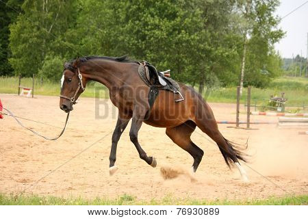 Brown Playful Latvian Breed Horse Bucking And Trying To Get Rid Of Saddle