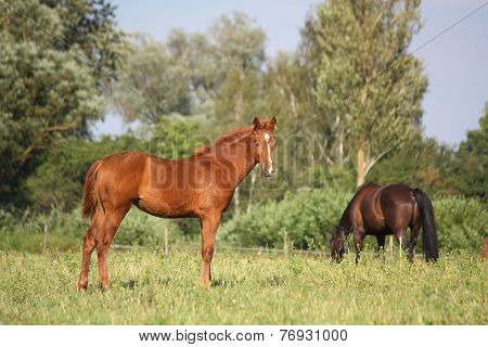 Cute Chestnut Young Foal Standing At The Pasture