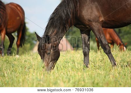 Black Horse Eating Grass At The Grazing