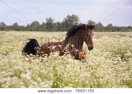 Bay Horse Running At The Field  With Flowers