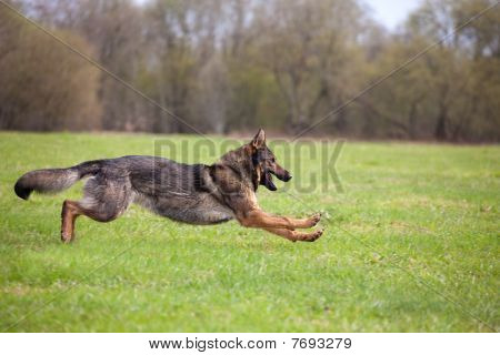 Running German Sheepdog