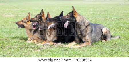 Five German Shepherds