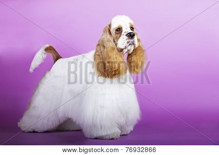 dog American Cocker Spaniel colored background