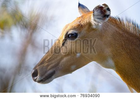 Brown female impala head close up