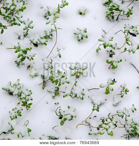 Snow-covered Bushes Cowberry