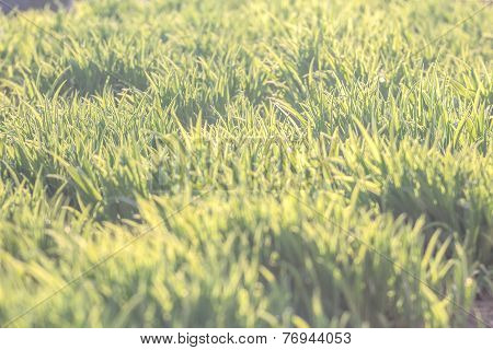Background Of Natural New Green Lawn