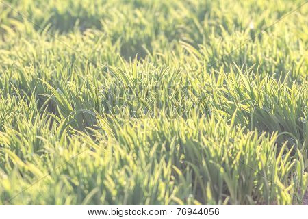 Background Of Natural Fresh Green Lawn