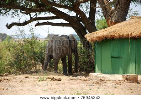 An Elephant Between The Bungalows In The Savannah-tanzania-africa