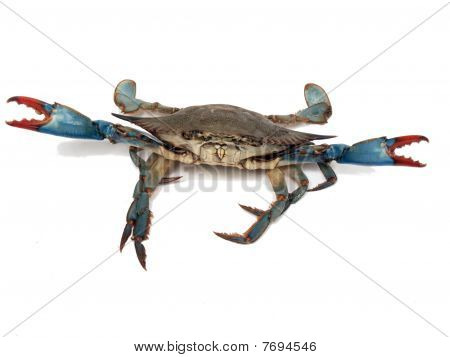 Blue Crabs In Fight Pose