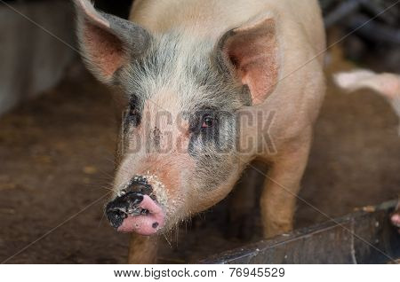 Particular Of A Pig's Head In The Farm