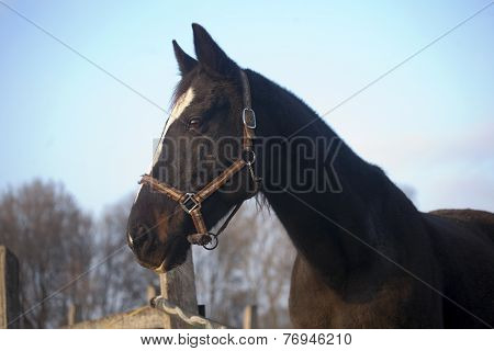 Warm blood purebred horse standing in autumn corral 	Warm blood purebred horse standing in autumn c