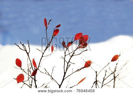 Bright Red Leaves In Winter