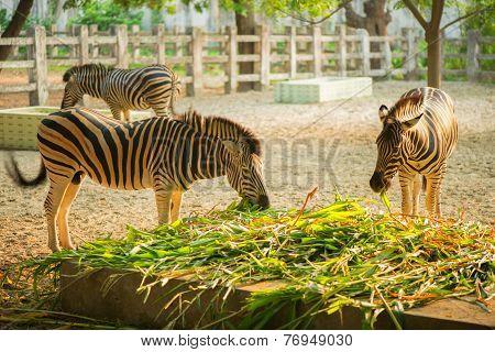 Wild Zebra Socialising In Bangladesh