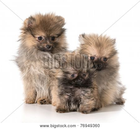 three pomeranian puppies sitting on white background