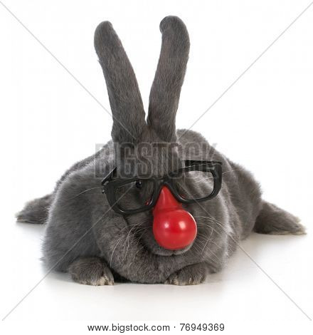 funny bunny - giant flemish rabbit wearing clown nose and glasses on white background