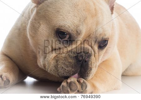 dog licking foot - french bulldog licking foot on white background