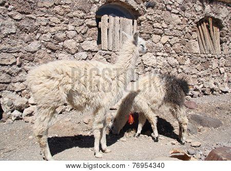 Lamas in a desert, Salar de Uyuni, Bolivia