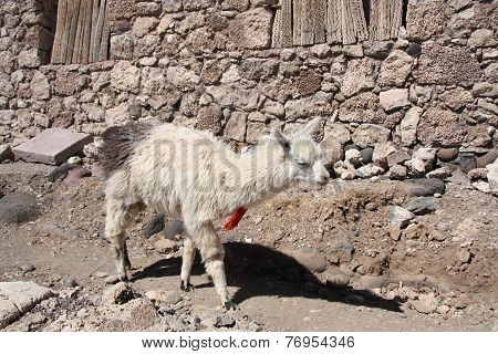 Lama in a desert, Salar de Uyuni, Bolivia