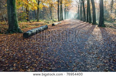 Long Avenue In A Beech Forest In Autumn Colors