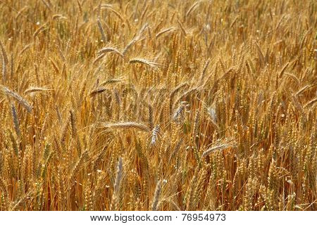 Wheat on the field