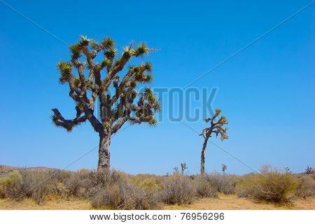 Joshua Trees In The Mojave